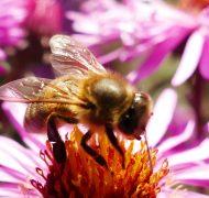 echinacea, bijen